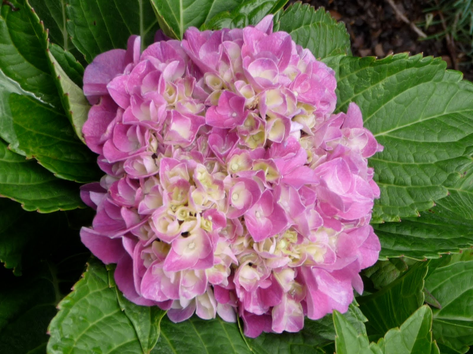 Addicted to hydrangeas sit with me in my garden another newcomber is this paris from the cityline series a dwarf hydrangea mightylinksfo
