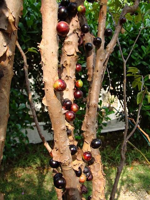 una ventana al mundo jabuticaba el rbol que da fruto en
