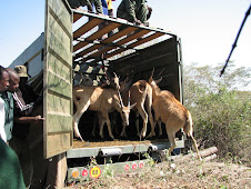 Eland Reintroduction into Mashi Conservancy