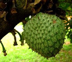 A palavra da maio é: Biribá - Fruta do Conde