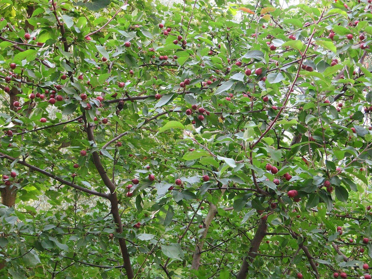 Omenapuu sisällä