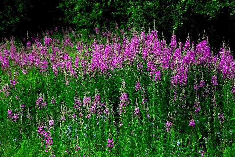 Fireweed Flowers in Talkeetna