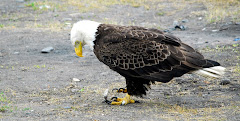American Eagle Near Our RV in Homer
