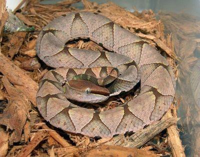 Hundred Pace Snake