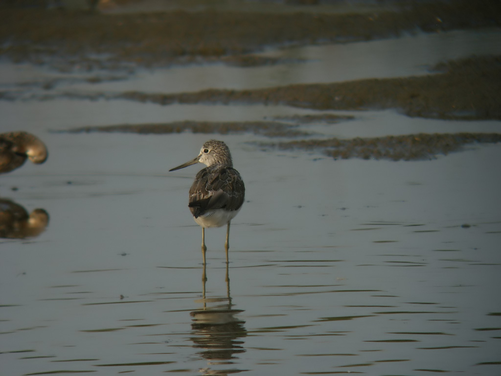[Greenshank+2+small]