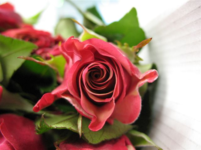 pictures of roses with quotes. quotes about roses. quotes