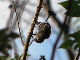 pica-pau-anão-barrado