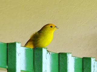 canário-da-terra