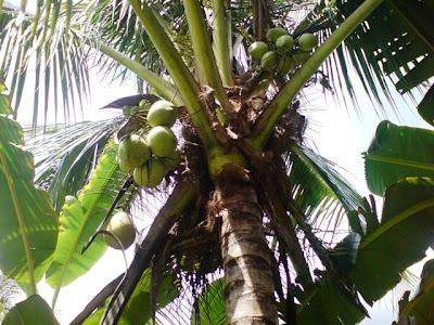 pokok buah kelapa..