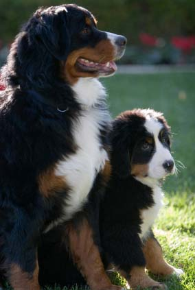 Dog Breed: Border Collie