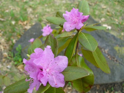 Our MN azalea