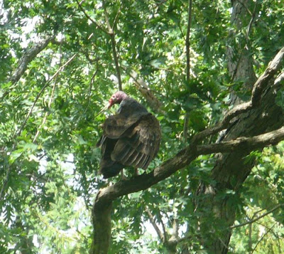 This one is the turkey vulture