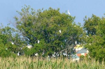 egrets