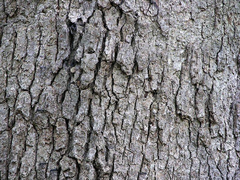 [800px-White_Oak_Quercus_alba_Tree_Bark_3264px.jpg]