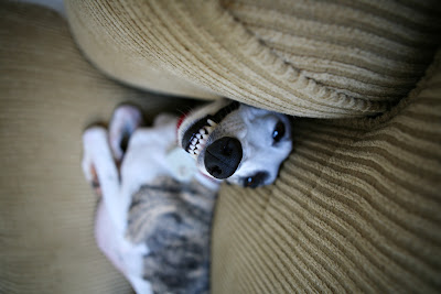 whippet teeth