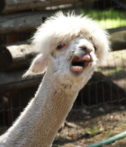 Alpaca Face Funny Elbow