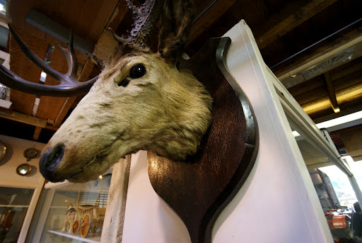 stuffed deer head, Saanich Historical Artifacts Society, Saanich Peninsula, BC, Canada