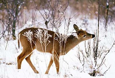 Image result for deer in snow