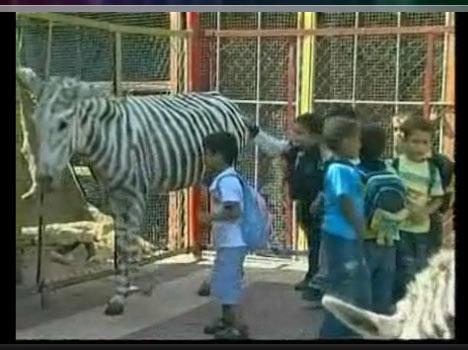 Zebra Stripes Lost Kids Song