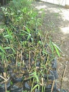 Unos 10 kil metros del r oa yaque del norte han sido - Reproduccion del bambu ...
