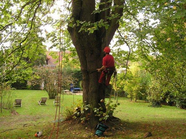 larbredenoe abattage d 39 arbre dangereux une tranche de h tre mauvais etat sanitaire. Black Bedroom Furniture Sets. Home Design Ideas