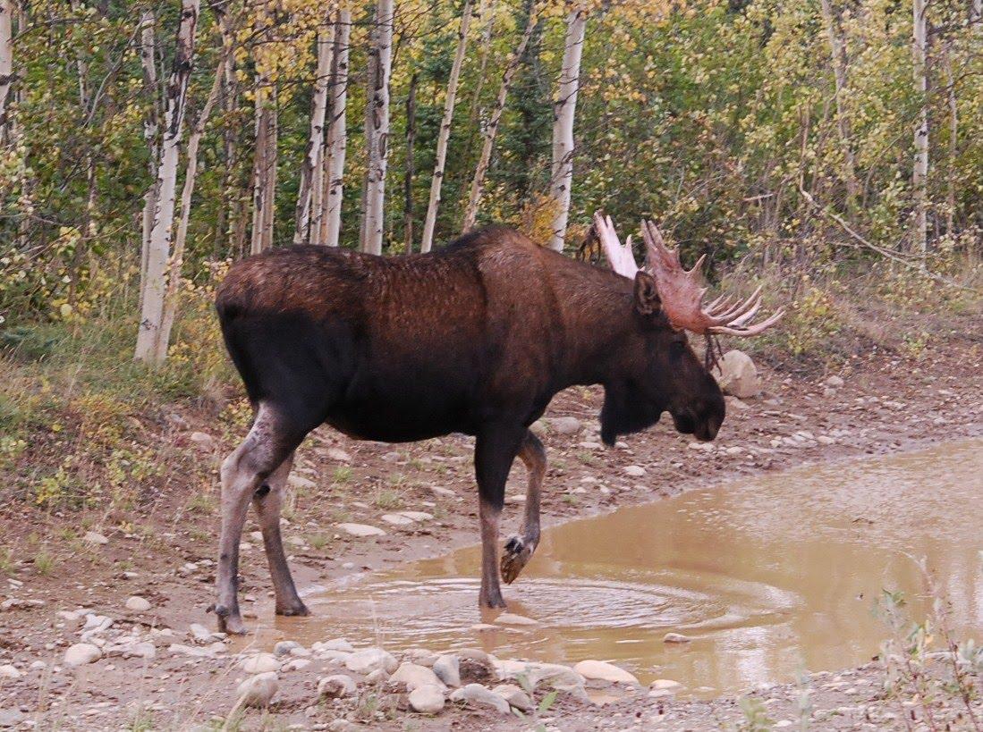 [Meadows+Rd+Moose.JPG]