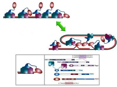 disposición de las unidades proteicas del telosoma depicting an schematics of the arrangement of subunits in the Shelterin/Telosome complex