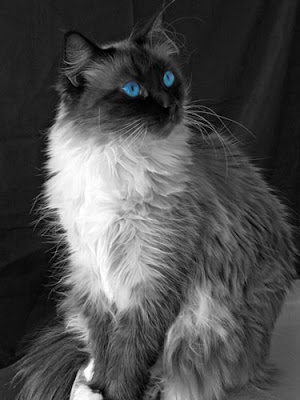 ��� ��� ���� ��� ���  2012 blue eye cat.jpg
