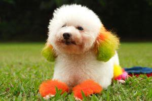 poodle dog, white poodle dog, puddle dog