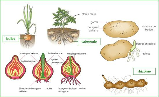 types of asexual reproduction in plants