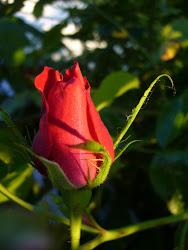 Roserne i haven