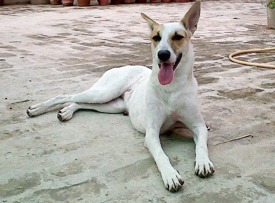 Pariah Dog Training