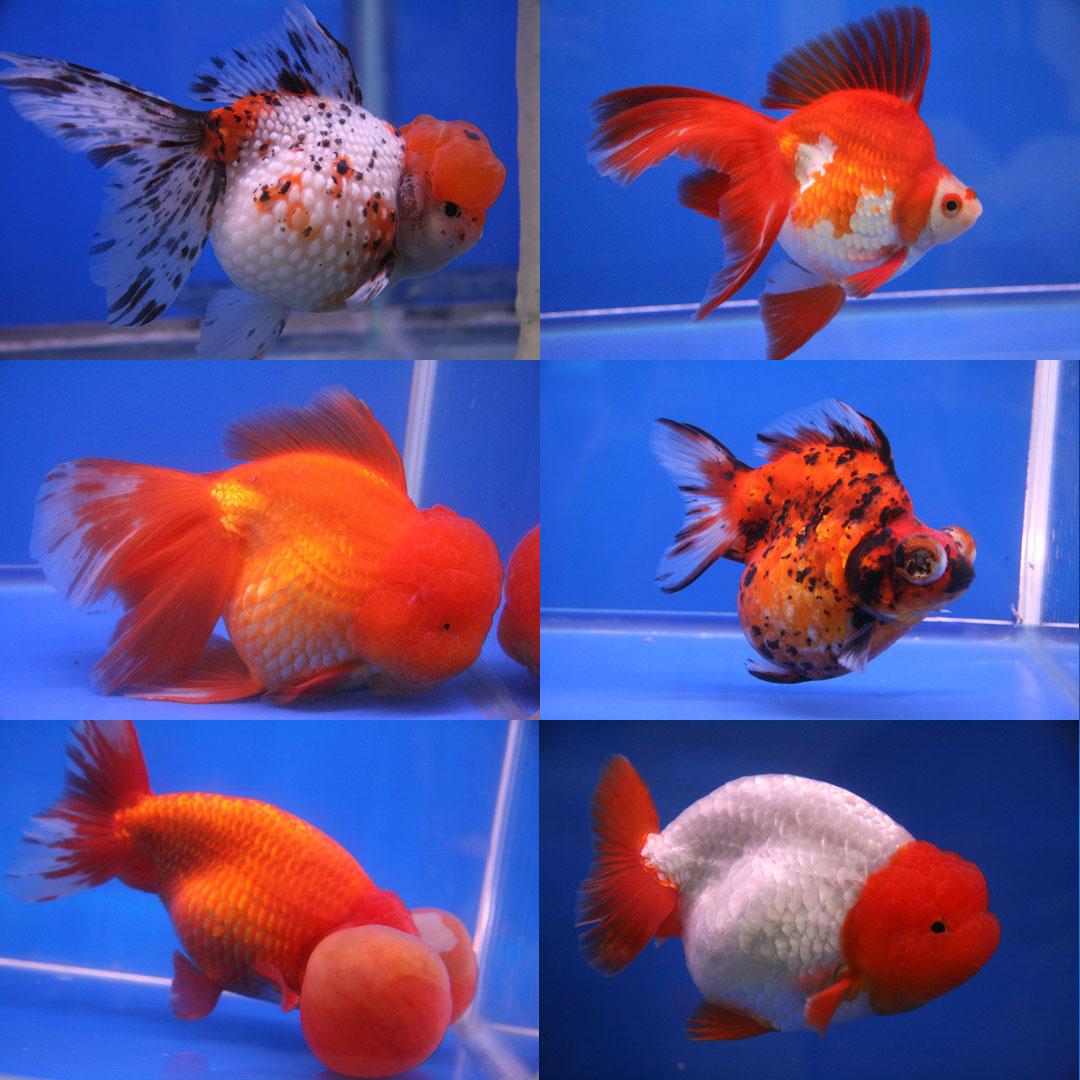 Reading lovers goldfish secrets and benefits for Aquarium original poisson rouge