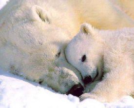 Fonte de la banquise => disparition des ours blancs