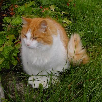 Cat: Norwegian Forest Cat