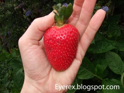 Worlds Biggest Strawberry