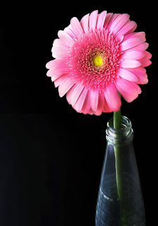 Gerbera Daisy 3 - beautiful flowers ( photoforu.blogspot.com )