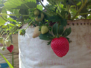 Strawberry di pohon