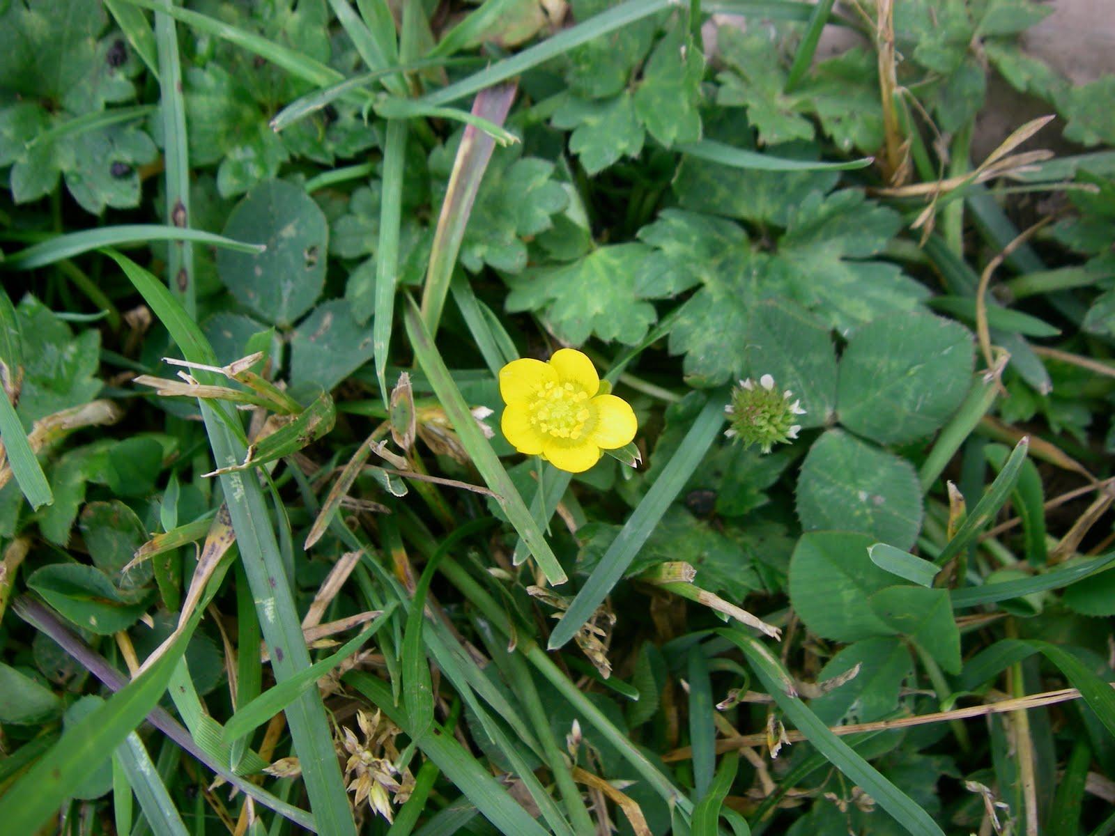 L 39 colo gonflable quelle est donc cette fleur jaune - Identifier mauvaise herbe gazon ...