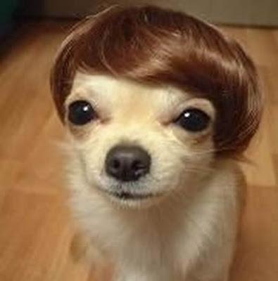 Chi+Dog+Wig.jpg