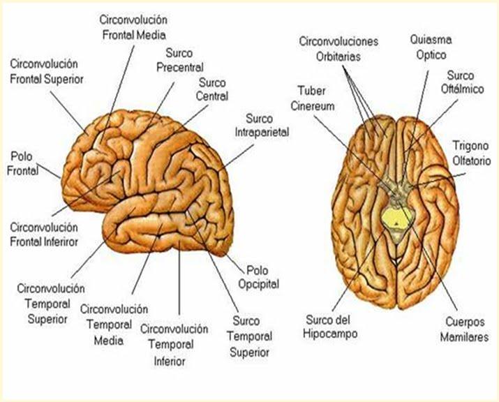 Lujo Anatomía Del Cerebro Ovejas Ilustración - Anatomía de Las ...