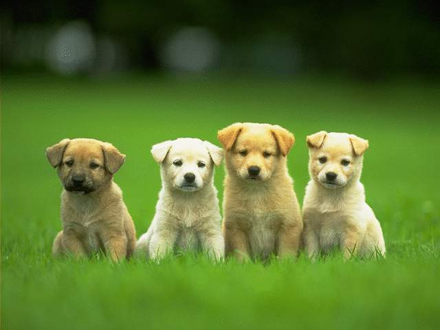 yellow lab puppy wallpaper. cute girls with puppies