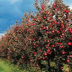 Martillo de salvaci n seamos rboles de manzanas for Arboles florales para jardin
