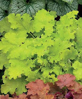 Lime Rickey Heuchera