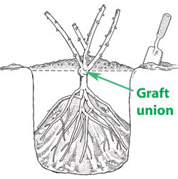 Graft union on rose