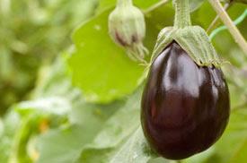 Eggplant in the Spotlight