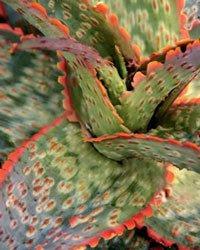 Aloe 'Carmine'