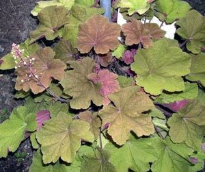 Heucheras That Beat the Heat