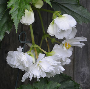Tuberous begonias in white
