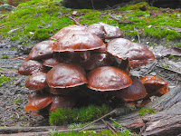 Fungi, Mountain River Trail, Wellington Range, Tasmania - 17 May 2007